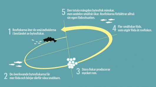 Rovfiskeparadox 1