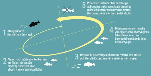 Rovfiskeparadox 3
